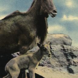Aoudad and Baby, New York Z...